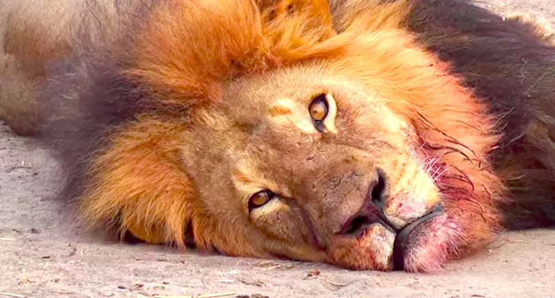 Cecil-the-lion-YouTuube-800x430